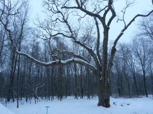 Great White Oak in winter